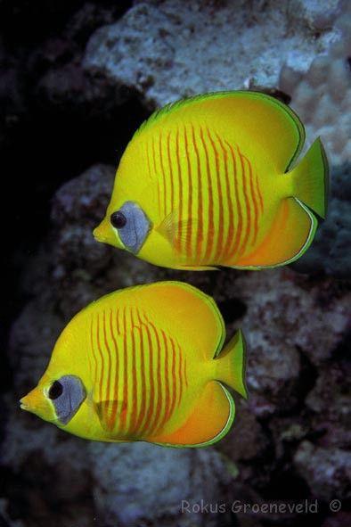 I Masked Butterfly Fish odiano la solitudine: si muovono infatti in coppia, nei fondali della barriere coralline.  #sea #animals #fish #pesci #curiosità #mare