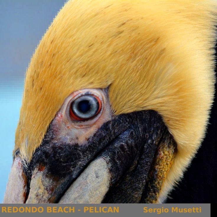 Pelican. Redondo Beach, California.