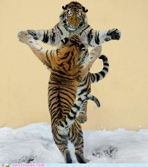 Big hugs!: Big Cat, Animal Pictures, Let Dance, Tango, Snow, Siberian Tigers, Exotic Cat, Siberiantigers, Bigcat