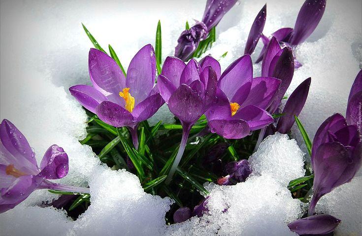 Fioletowe, Krokusy, Śnieg