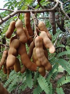 Tamarindus indica -   Tamarind is an edible tropical fruit used mainly as flavor in Asian cuisines. However ripe fruit pulps are sweet and can be eaten raw.