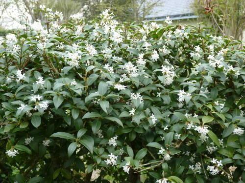 Osmanthus x burkwoodii (5'h x 5'w) Evergreen flowering shrub (fragrant).