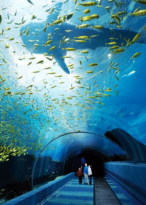 "The Georgia Aquarium in Atlanta is advertised as the ""world's largest aquarium."" It has 100,000 animals of 500 different species. The aquarium holds more than 8.1 million gallons of marine and fresh water. Pictured above is the The Ocean Voyager exhibit tunnel is a 100 foot underwater tunnel which includes the vast majority of the aquarium's water and almost 100,000 fish."