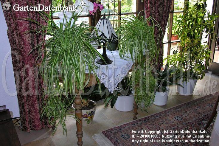 die besten 25 gr nlilie ideen auf pinterest luft reinigen pflanzen innenraumluft und efeu. Black Bedroom Furniture Sets. Home Design Ideas