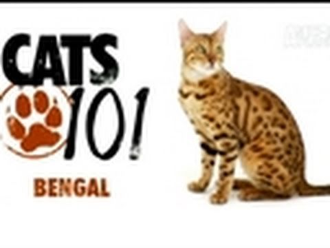 Cat Health 101: http://animal.discovery.com/healthy-pets/cat-health-101/#mkcpgn=ytapl1     More Cats 101 Video: http://animal.discovery.com/videos/cat/#mkcpgn=ytapl1      The wild look of the Bengal cat comes from its ancestors, the Asian leopard cat and the domestic shorthair. It's breeding can account for its intelligence and wild nature, too.