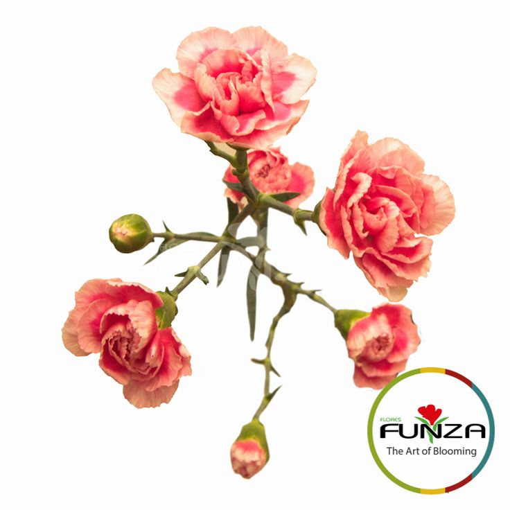 Bicolor Pink Spray Carnation from Flores Funza. Variety: Festival. Availability: Year-round.