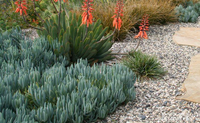 Senecio Mandraliscae Blue Chalk Sticks Garden