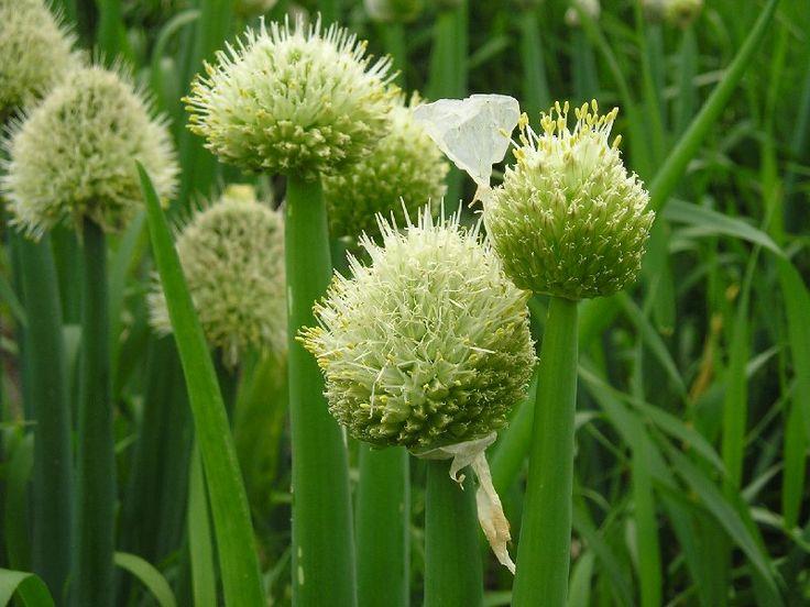 большое соцветие репчатого лука фото замерщик