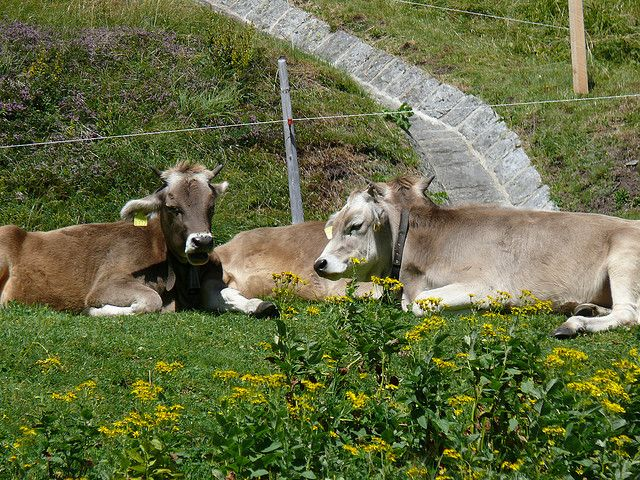 Brown Swiss known for volume, long life, and long lactation cycles.