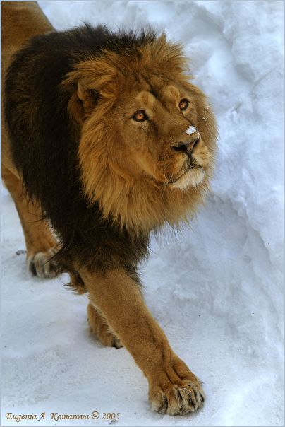 The Great and Majestic Lion Looks up! in Doing so, Extending His One Paw.