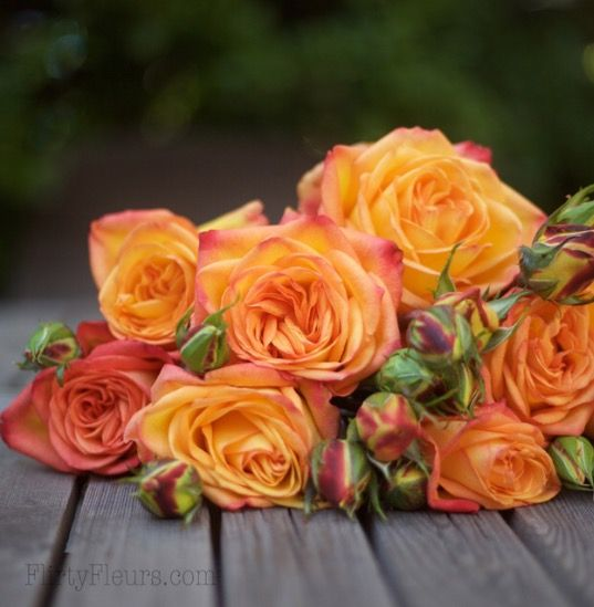 Orange Garden Rose 49 best orange flowers images on pinterest | orange flowers