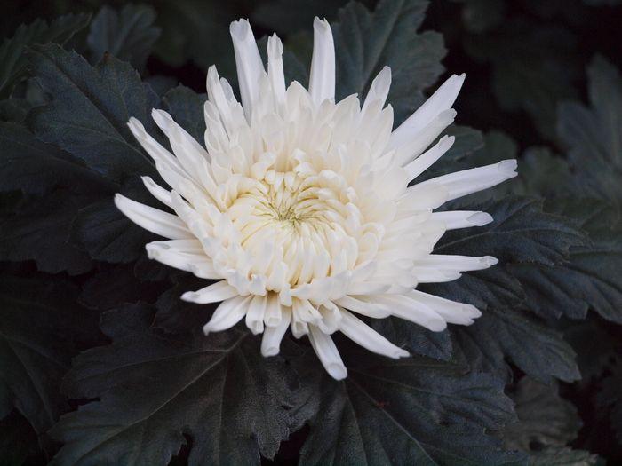 Chrysanthemum Morifolium Lone Star In 2020 Chrysanthemum Morifolium Chrysanthemum Lone Star