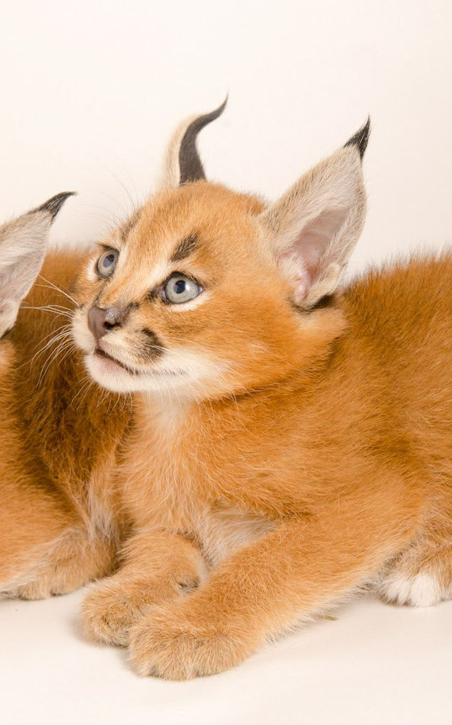 Photos offer glimpse at Oregon Zoo's exotic caracal
