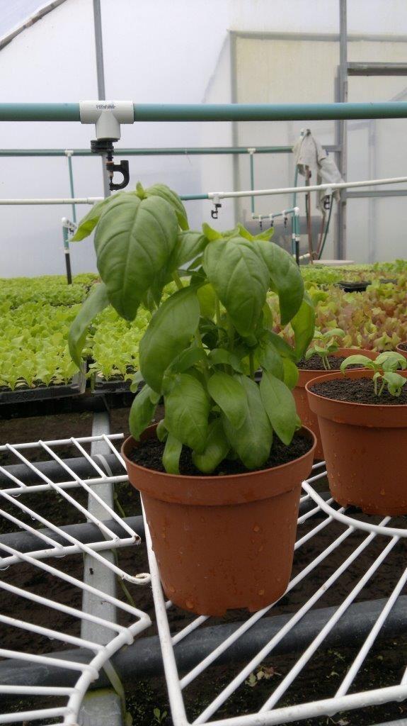 Una planta de albahaca en maceta cultivo de plantas en for Cultivo de albahaca en interior