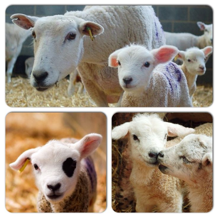 Some of our favourite images taken by visitors on lambing tours at Daylesford.