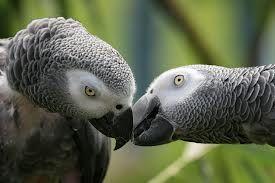 pappagallo cenerino  baci in grigio