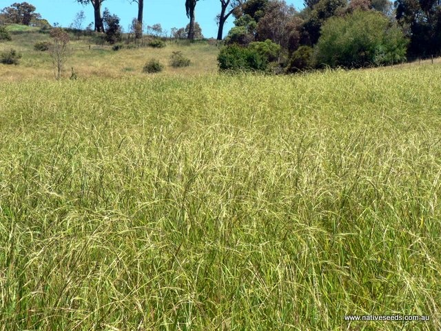 Weeping grass Griffin - Microlaena stipoides