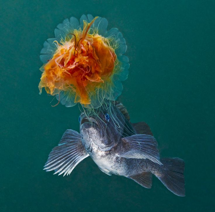 Lion's Mane Jellyfish with Blue Rockfish - David Hall's Encounters in the Sea Gallery