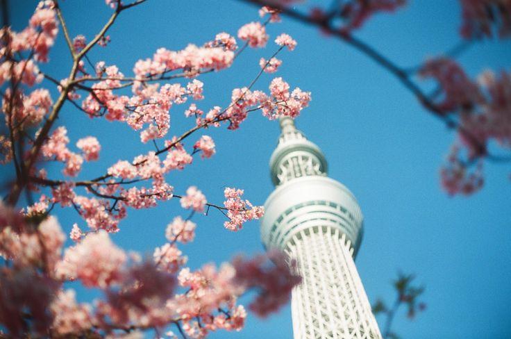 20 magnifiques photos de cerisiers pour plonger au cœur du printemps japonais