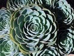 ...of powder blue foliage...  Echeverias imbricata