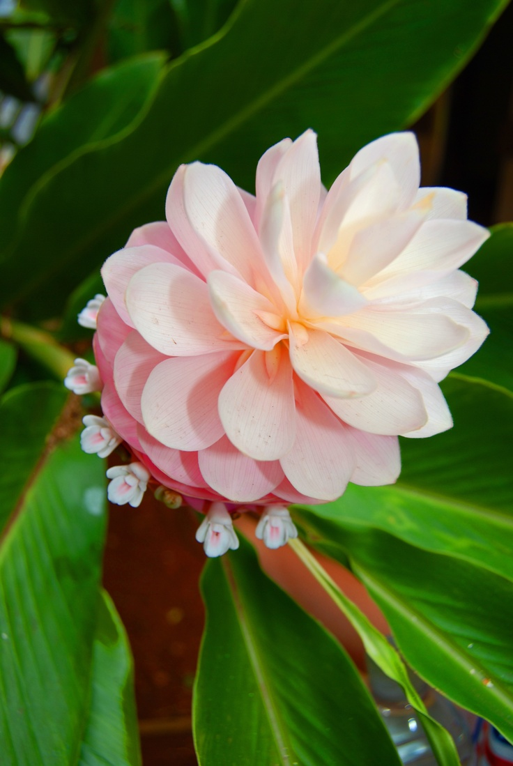 Wedding Flowers On Oahu : Curated tropial plant photo ideas by sykesl bird of