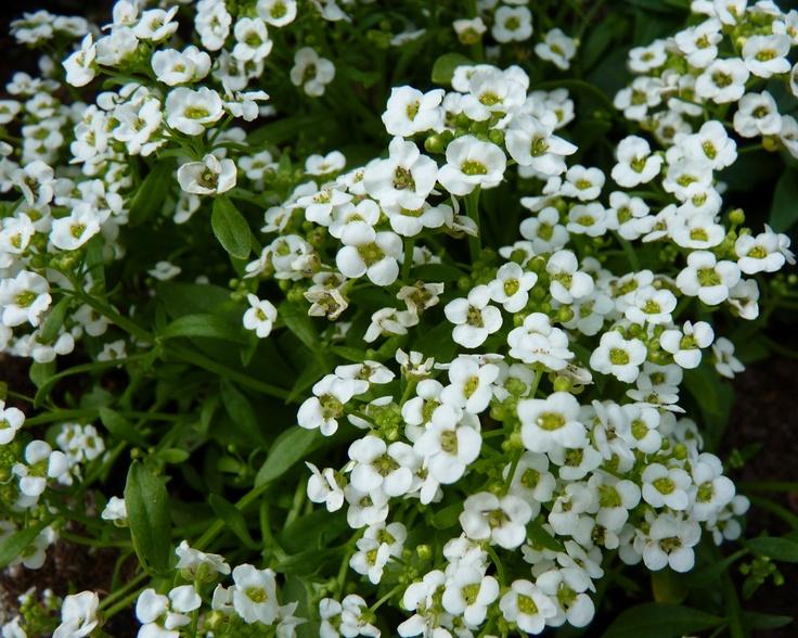 Sweet Alyssum 'Clear Crystal White' (Lobularia maritima)