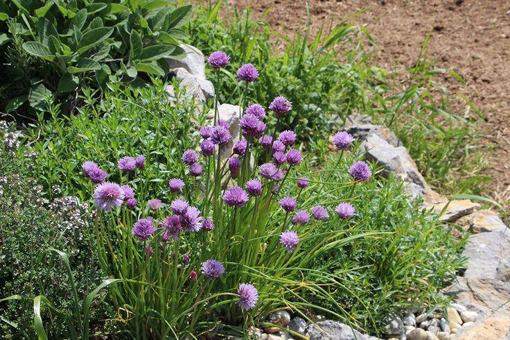 V květnu to sluší i bylinkové spirále. Věděli jste, že květy pažitky jsou jedlé a ozvláštní například pomazánky a saláty?