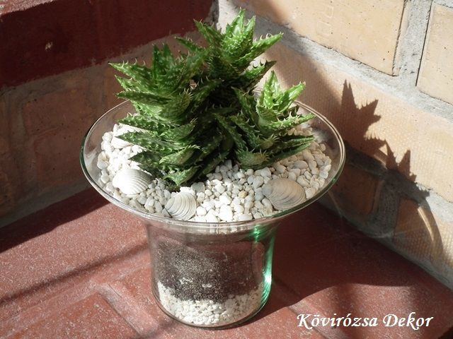 Aloe Juvenna üvegedényben | Kövirózsa Dekor