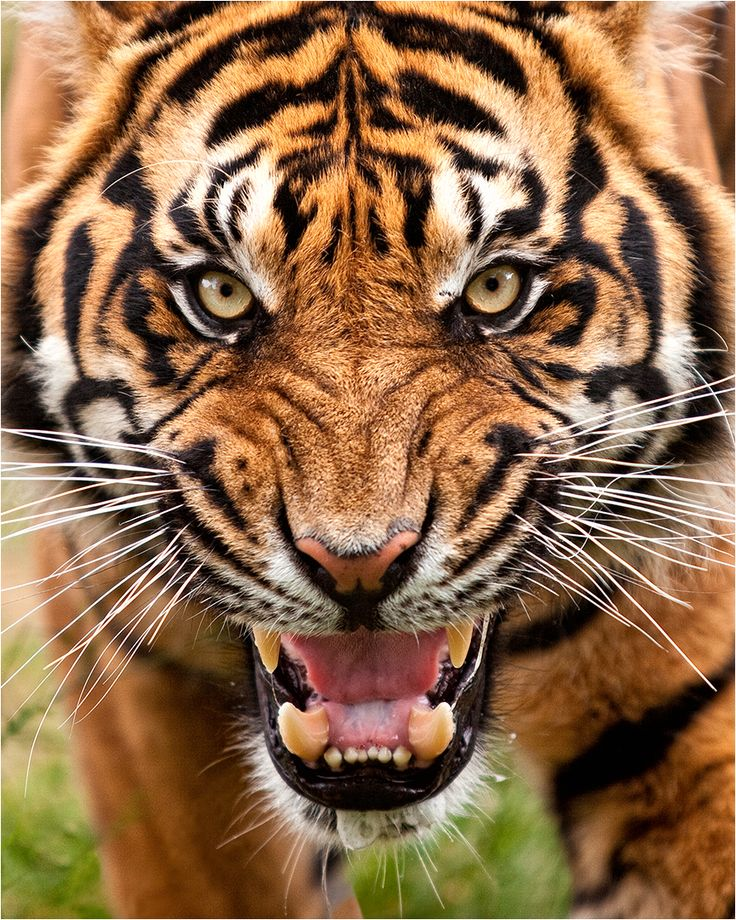 Pin by kukundra on Tigr Tiger pictures, Angry tiger
