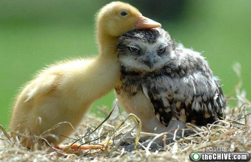 Duck and an owl.Burrowing Owl, Best Friends, Animal Baby, Baby Ducks, Baby Owls, My Heart, Baby Animals, Feathers, Birds