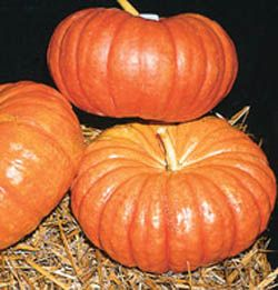 Cinderella Pumpkin SEEDS.  Kids love this antique french heirloom pumpkin. Flatter than regular pumpkins and darker of color, this is the classic 'Cinderella's Coach' pumpkin. Red-orange fruits average 6 inches tall and 18 inches across with very deep sutures. Very decorative, but a little hard to carve because of the deep sutures. One of the best baking pumpkins, the sweet thick flesh has a better flavor than most carving types.Cinderella Pumpkin, Paisley Pumpkin, Heirloom Pumpkin, Baking Pumpkin, Antiques French, Classic Cinderella, Cinderella Coaches, French Heirloom, Pumpkin Seeds