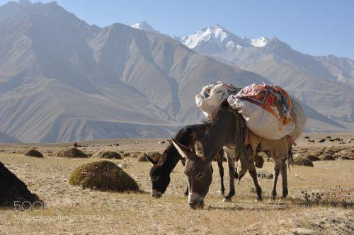 Donkeys by SamiSorasalmi  Afganistan Central Asia Hindu Kush Pamir Pamir Highway Pamirs Tajikistan Wakhan beast of burden donk