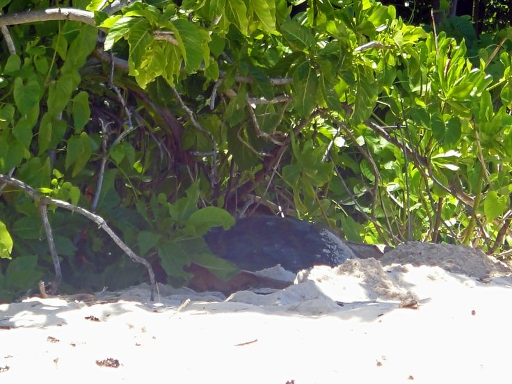 Seychelles. Cousin Island. Hawksbill sea turtle ready for nesting.