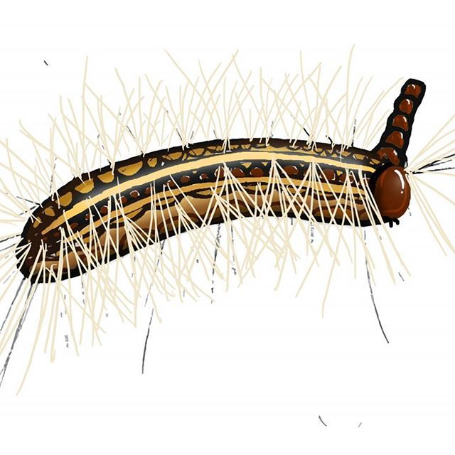 What's this? The very pointy and very odd caterpillar of the gum-leaf skeletonizer moth. In addition to being hairy, you'll notice this creature has something on its head; those are, in fact, old heads! Yup, after molting, old head-skins pile up on top of each other like a rather macabre hat. Our infographic isn't about this, though: instead it focuses on sexual selection in adult moths. Give it a read, why don't you? Link's in bio! ------------------ #caterpillar #transformation…