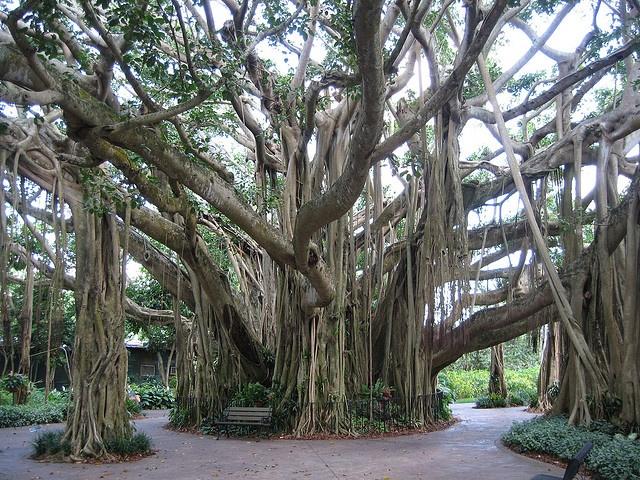 Fascinating Banyon trees hawaii