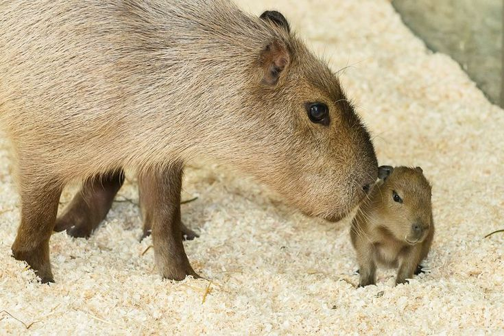 Schönbrunn Zoo Welcomes Capybara Pups 1 capybara mader  Introduced last April, Capybaras Nancy and Sam hit it off immediately at Schönbrunn Zoo in Austria. After a gestation period of about six months, Nancy gave birth to three healthy pups on November 29!