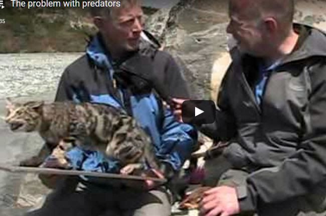 video - Department of Conservation ranger George Iles explains the extreme threat that introduced predators pose to our native wetland birds. From the Wetland Treasures LEARNZ virtual field trip http://www.wildliferules-helpsavewildlife.info/2017/04/the-problem-with-predators.html
