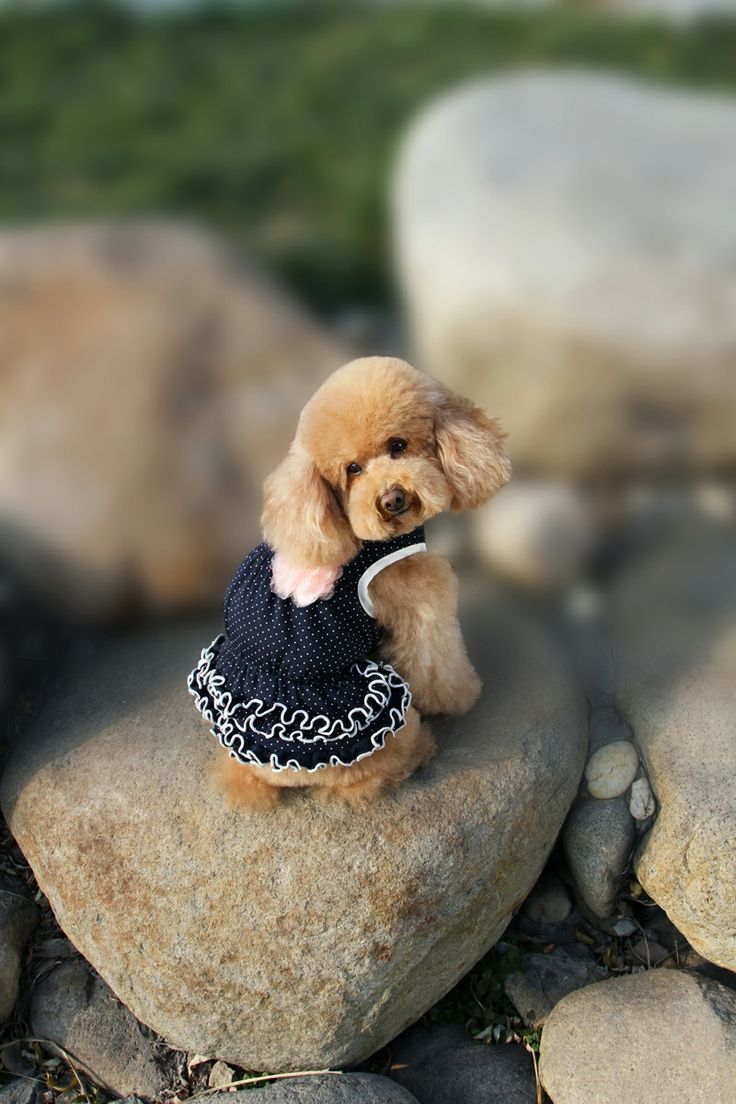 Cute Baby in navy frilly spotty dress. With also a lovely Lace Flower ! http://edenpetz.co.uk/dogs/dogclothing/summerdresses/princesspolkadotsfrilldresssmall