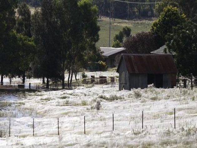 What appears to be snow is actually spider webs blanketing an Australian farm. (Daniel Munoz/Reuters) I find spiders to be one of the creepiest creatures on this planet, but I still think this is pretty interesting.