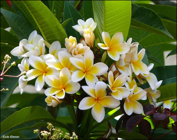 36 best Seychelles` Flora images on Pinterest | Seychelles, Flora ...