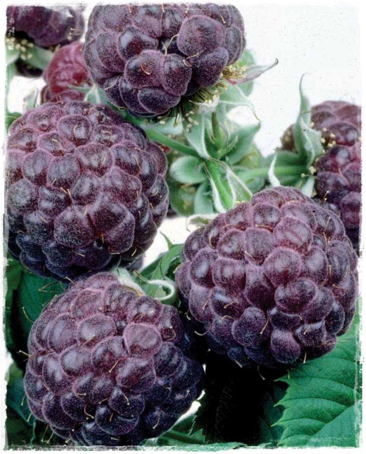 Thorn less   Purple Raspberry Rubus /'Glencoe/' Live plant