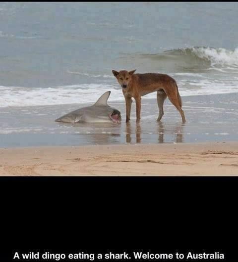 Dingo eating a shark.