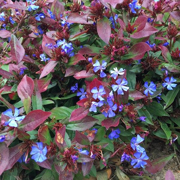 Buy hardy plumbago Ceratostigma plumbaginoides: Delivery by Crocus