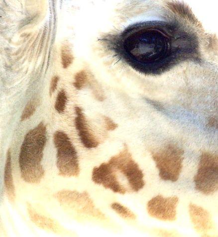 giraffe - would make a gorgeous watercolor