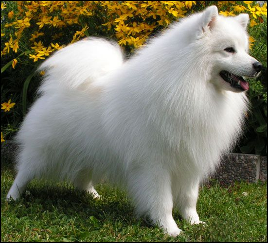 "A nice alternative to a Pom if you love the fur, but want the next size up. This Japanese Spitz is only knee-high, (12-15 lbs) with low maintenance ""Teflon"" fur."