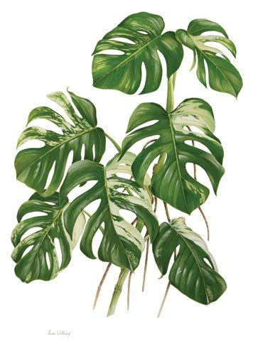 PLANTA TÓXICA Monstera deliciosa 'Variegata', costela-de-adão (Split-Leaf Philodendron, fruit salad plant, fruit salad tree TOXIC PLANT