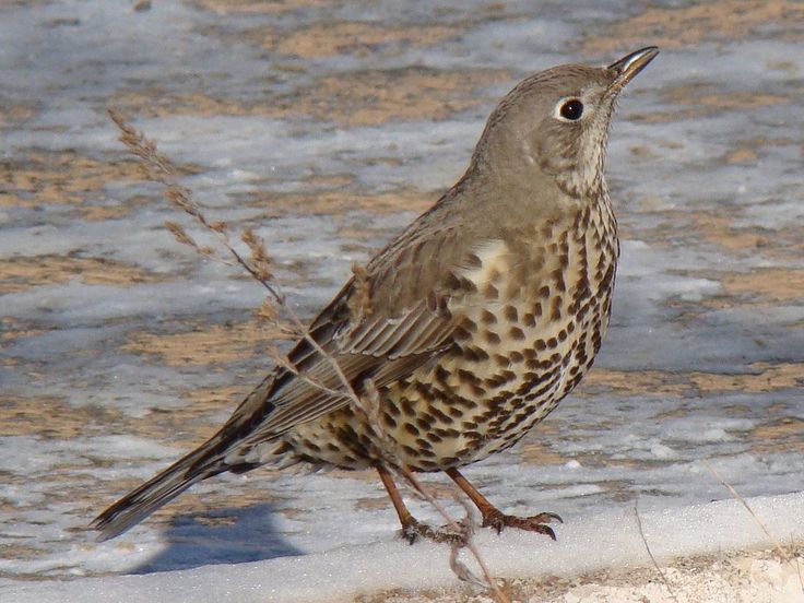 Mistle thrush - Wikipedia