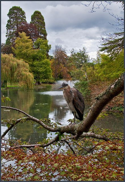 """""""Welcome to my park."""" Great blue heron in Beacon Hill Park, Victoria, Vancouver Island, BC by Terry and Julie"""