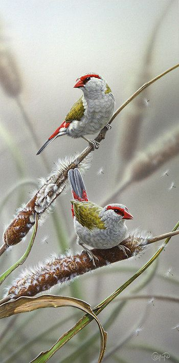 Red-browed Fire-tail Finches by Christopher Pope