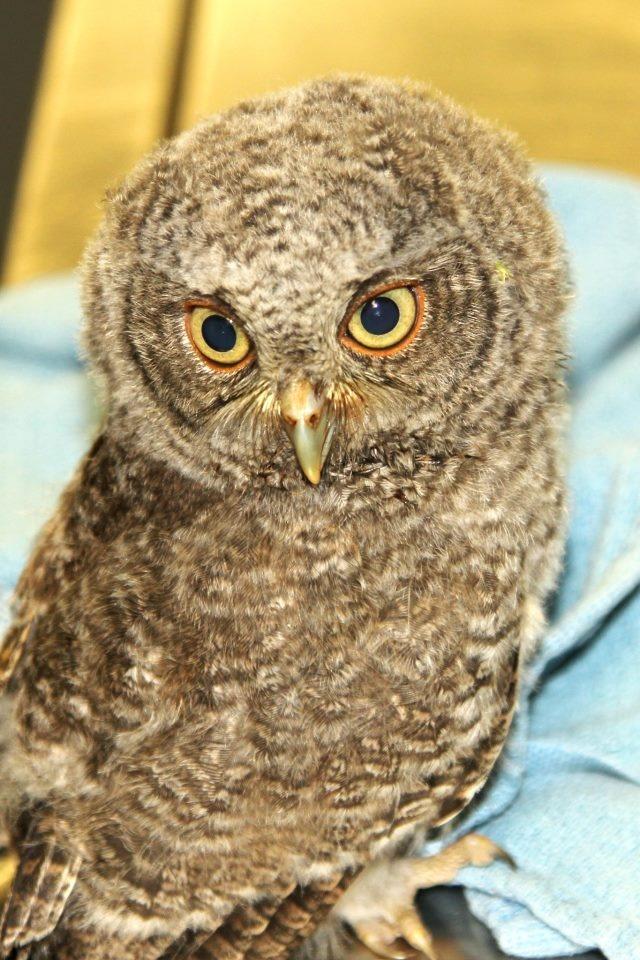 Baby Screech owl. | Animals | Pinterest